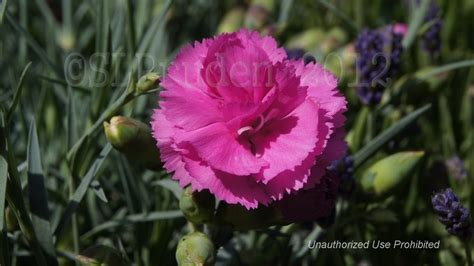 plantfiles pictures dianthus border pinks carnation