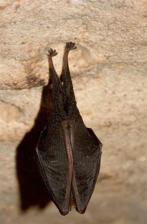 le pipistrelo pipistrello il mondo intorno