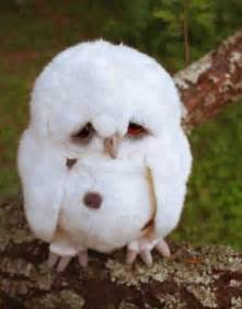 Barn Owl Owlets White Owl Cute But With A Sad Look On His Sweet Face