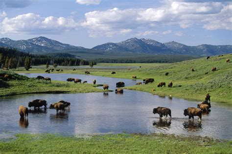 yellowstone national park animal photo yellowstone natural wildlife paradise travel all together