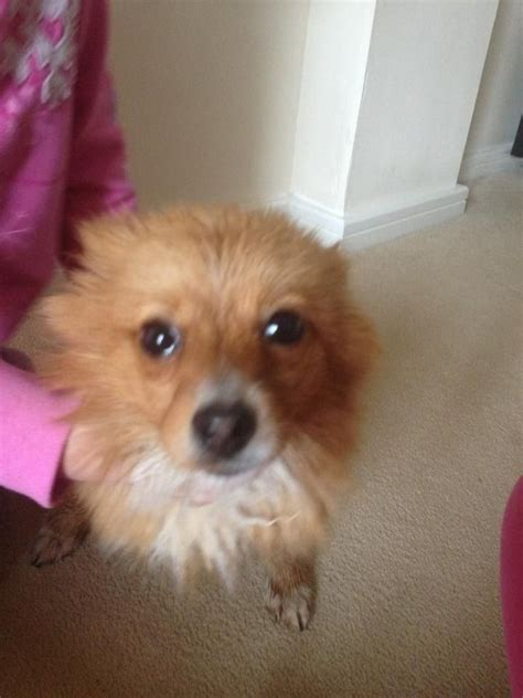 oldest pomeranian 8 month pomeranian for sale greenhithe kent pets4homes