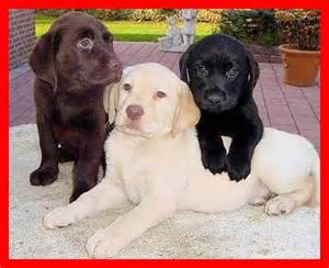 labrador retriever colors labrador retriever three colors labrador retriever