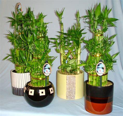 apartamento na planta cinas dracaena lucky bamboo bambus norocos arta plantelor