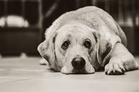 sad puppy free photo labrador black and white sad free image on pixabay 1126025