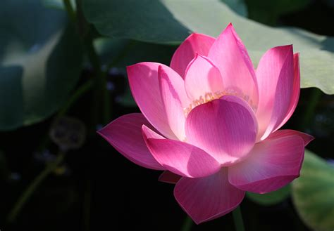 buy a lotus flower pink lotus flower compare prices on pink lotus flower
