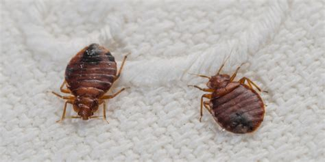 freeze bed bugs bed bug survival in freezing temperatures examined by