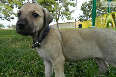 cur puppies for sale blackmouth cur dogs puppies for sale breeds picture