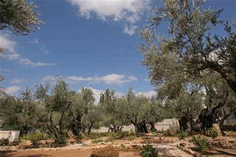 Garden Of Today How Are The Olive Trees In The Garden Of Gethsemane
