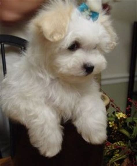 pomeranian puppies for sale in flint michigan dogs flint mi free classified ads