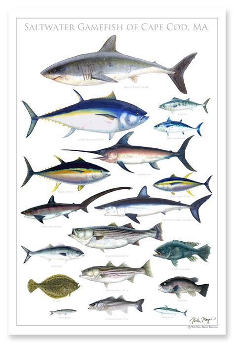 printable fish poster saltwater gamefish of cape cod nick mayer art
