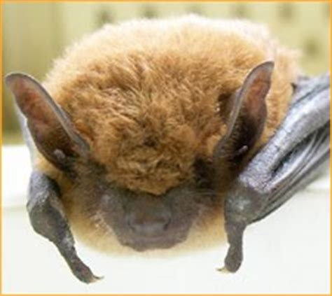 precision wildlife services big brown bat new hshire