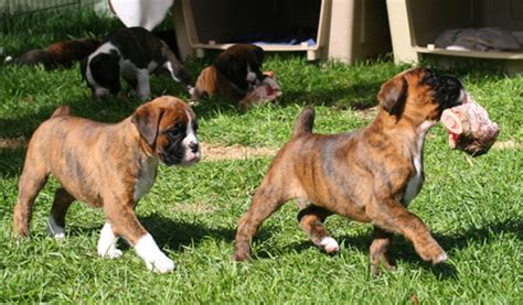boxer puppy food boxer food diet 34 cool wallpaper dogbreedswallpapers
