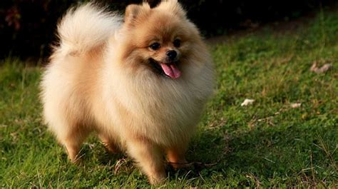 popular pomeranian most beautifl best selling breeds in the world 2017 top 10 list us95