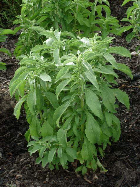Growing Stevia   Bonnie Plants