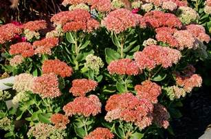 House Design Games Big Fish autumn joy stonecrop flowers sedum plants for fall