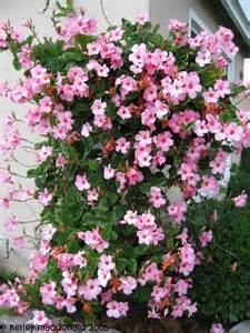 mandevilla colors plantfiles pictures mandevilla pink allamanda