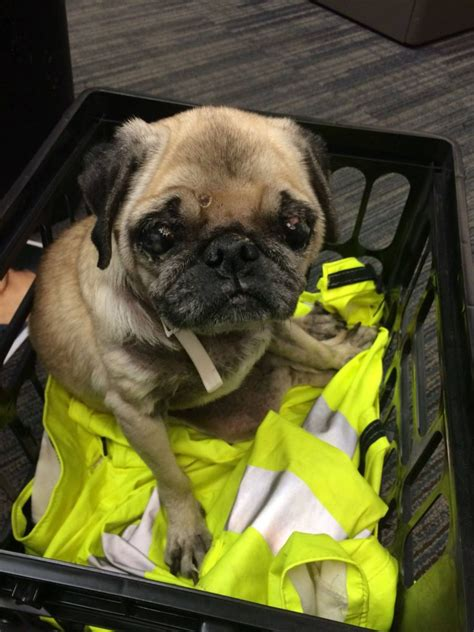 pug vancouver officer picks up pug with unregistered chip the columbian