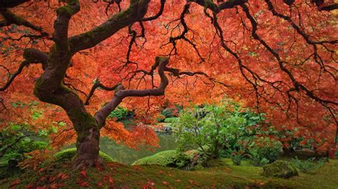 japanese maple tree the friday influence
