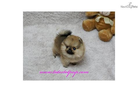 sweetwater pomeranians akc micro pocket teacup yorkie for adoption breeds picture
