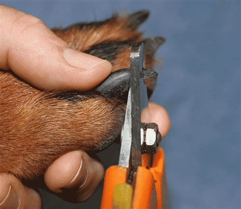 cutting dogs nails scenthound