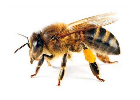 Yellow Bee honeybee wasp or yellowjacket organibees