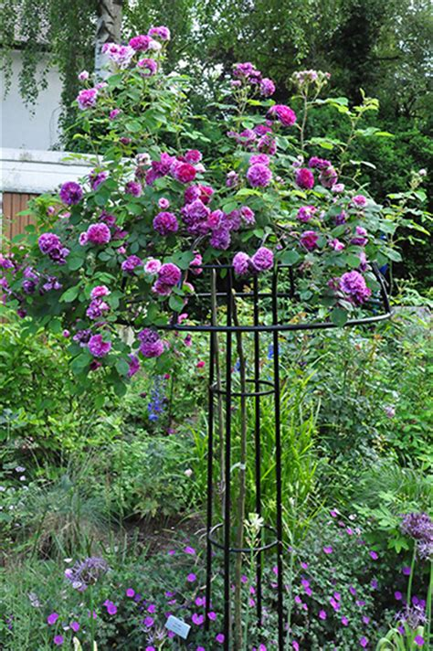 ideas for climbing rose supports giverny umbrella classic garden elements uk