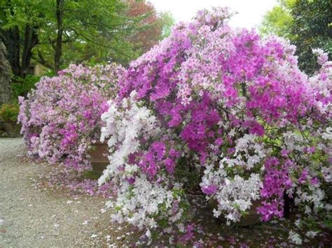 cura azalea in vaso azalea cura piante da giardino azalea cura giardino