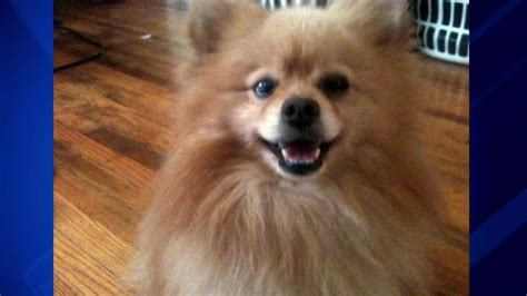 pomeranian attack chicago claims 2 pit bulls attacked killed
