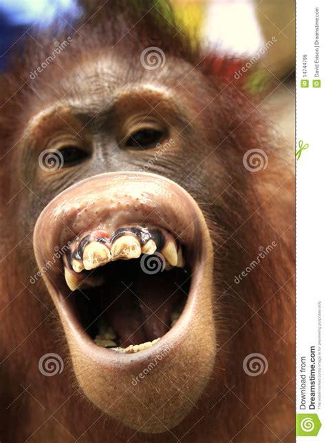 der lachende  utan stockfoto bild von lachen borneo