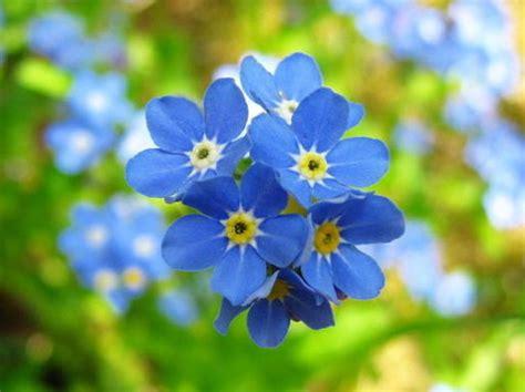 imagenes flores no me olvides no me olvides diario armenia