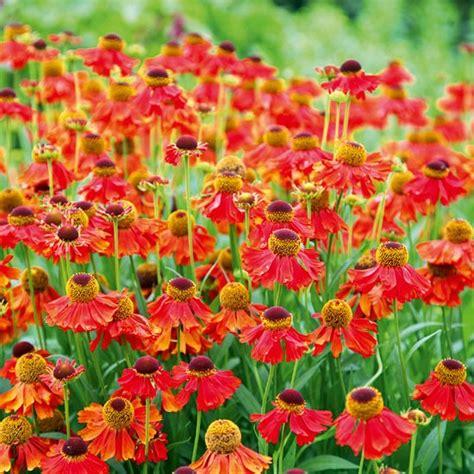 Kitchen Dining Room Ideas helenium moerheim beauty best helenium plants to buy