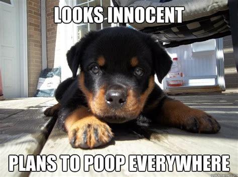 Dog Poop Meme - looks innocent plans to poop everywhere distraction