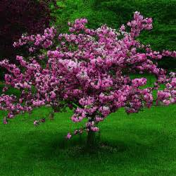 ornamental crabapple small trees top 10 small trees sunset