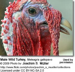 how to tell male or female wild turkey wild turkeys beauty of birds