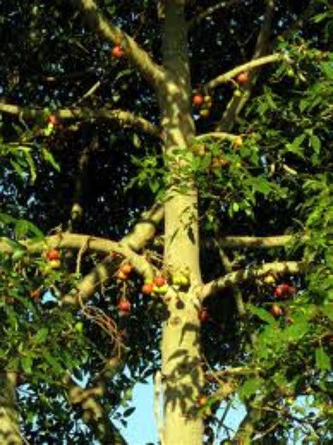 athi fruit tree chamundi devi