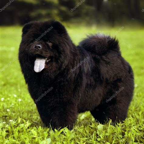 chow chow cross pug chow mix breeds breeds picture