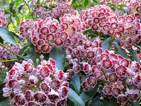 flowering summer shrubs summer flowering shrubs summer flowering shrubs australia