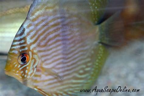 aquascape online aquascape online 28 images aquascapeonline we sell a wide selection of piranhas