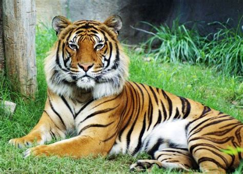 tiger tiger essential modern 6 famous types of tigers steemit
