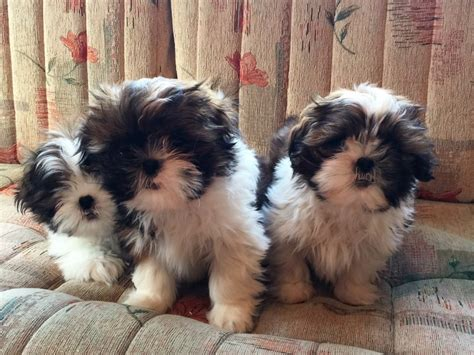 shih tzu puppies for sale in new hshire stunning shih tzu puppies ready for new homes now emsworth hshire pets4homes