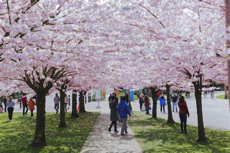 cherry blossom festival richmond is hosting a waterfront cherry blossom festival