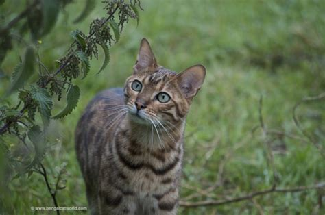Bengal Cat Facts   Bengal Cat World