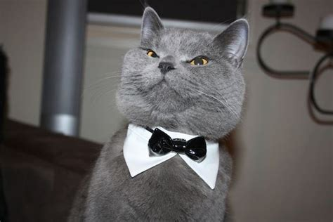 Sophisticated Cat Meme Generator - meme creator sophisticated cat meme generator at