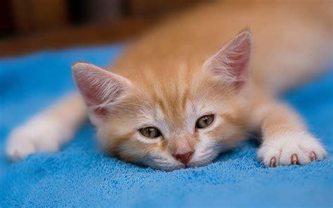 wallpapers for desktop kittens tired kitten 827340 walldevil