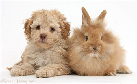 puppies and pets labradoodle puppy and fluffy bunny photo wp36856