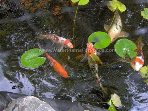 our ponds and fish pond pictures fish pond photos water plants for ponds