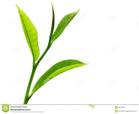 best leaf tea top four leaves of a tea plant stock image image of