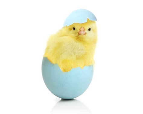 Animal Egg chicken eggs animals egg easter baby wallpaper
