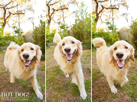 golden retriever puppies orlando maggie the golden retriever orlando pet photography 187 pet photography