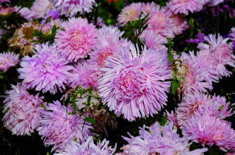 aster fiori giardinaggio aster fiori quot stellari quot